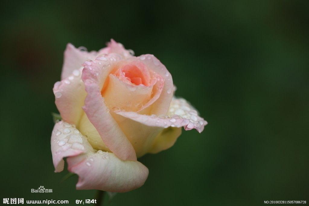 个性网-美图-玫瑰_情感意境_风景